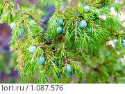 Купить «Можжевельник. Juniperus», фото № 1087576, снято 22 июня 2009 г. (c) Александр Подшивалов / Фотобанк Лори