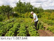Купить «Пожилой мужчина работает в огороде. Окучивание картофеля», фото № 1087644, снято 8 июля 2009 г. (c) Светлана Силецкая / Фотобанк Лори