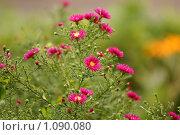 Купить «Хризантема дачная», эксклюзивное фото № 1090080, снято 12 сентября 2009 г. (c) Svet / Фотобанк Лори