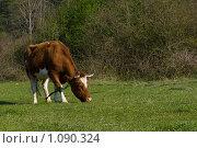 Купить «Рыжая корова на лугу», фото № 1090324, снято 11 апреля 2009 г. (c) Светлана Щекина / Фотобанк Лори