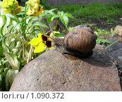 Купить «Улитка, камень, цветок,», фото № 1090372, снято 21 июня 2009 г. (c) Галина Гуреева / Фотобанк Лори