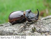 Жук-носорог. Стоковое фото, фотограф Владимир Алексеев / Фотобанк Лори