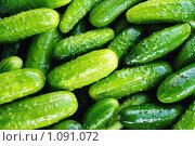 Купить «Урожай огурцов», фото № 1091072, снято 24 августа 2009 г. (c) Данил Ефимов / Фотобанк Лори