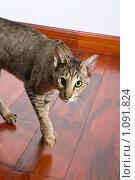 Кот ориентальной породы. Стоковое фото, фотограф Хижняк Екатерина / Фотобанк Лори