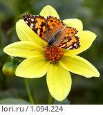 Купить «Бабочка репейница на жёлтом цветке», фото № 1094224, снято 28 августа 2008 г. (c) Истомина Елена / Фотобанк Лори