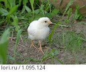 Цыпленок белый потерялся. Стоковое фото, фотограф Сотникова Екатерина / Фотобанк Лори