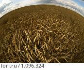 Пшеничное поле. Стоковое фото, фотограф Andrey M / Фотобанк Лори