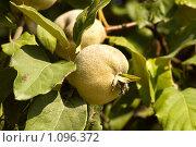 Айвовая груша. Стоковое фото, фотограф Виктор Косьянчук / Фотобанк Лори