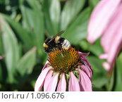 Шмель на цветке эхинацеи. Стоковое фото, фотограф Дмитрий Янкин / Фотобанк Лори