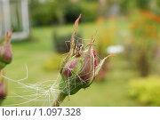 Паук на бутоне розы. Стоковое фото, фотограф Виктор Агеев / Фотобанк Лори