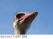 Страус. Стоковое фото, фотограф Виктор Агеев / Фотобанк Лори