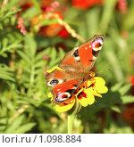 Купить «Бабочка на цветке», фото № 1098884, снято 19 августа 2005 г. (c) Юлия Подгорная / Фотобанк Лори