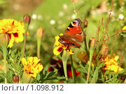 Купить «Бабочка на цветке», фото № 1098912, снято 19 августа 2005 г. (c) Юлия Подгорная / Фотобанк Лори