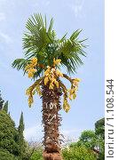 Купить «Цветущая пальма», фото № 1108544, снято 16 мая 2009 г. (c) Юрий Брыкайло / Фотобанк Лори