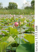 Купить «Озеро с лотосами», фото № 1111644, снято 30 июля 2009 г. (c) Петроченко Мария Петровна / Фотобанк Лори