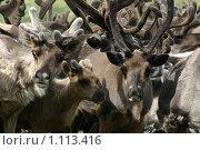Олени. Стоковое фото, фотограф Сергей Дриманович / Фотобанк Лори