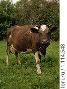 Корова, жующая траву. Стоковое фото, фотограф Анна Дегтярёва / Фотобанк Лори