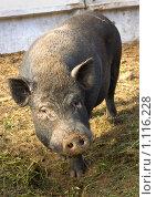 Купить «Свинья вьетнамской карликовой породы», фото № 1116228, снято 9 сентября 2009 г. (c) Вадим Субботин / Фотобанк Лори
