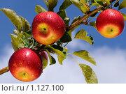 Купить «Спелые яблоки на ветке в яблоневом саду», фото № 1127100, снято 27 сентября 2009 г. (c) Титаренко Елена / Фотобанк Лори