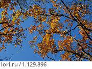 Купить «Ветки дуба с пожелтевшими листьями на фоне голубого неба», эксклюзивное фото № 1129896, снято 3 октября 2009 г. (c) lana1501 / Фотобанк Лори