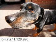 Смешная собака. Стоковое фото, фотограф Наталья Чумак / Фотобанк Лори