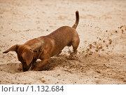 Купить «Такса роет яму», фото № 1132684, снято 1 июня 2009 г. (c) Бабенко Денис Юрьевич / Фотобанк Лори