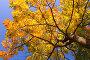 Золотая листва клена, фото № 1133036, снято 24 сентября 2006 г. (c) Бабенко Денис Юрьевич / Фотобанк Лори