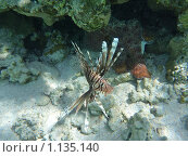 Рыба крылатка на фоне спрятавшегося под кораллом осьминога. Стоковое фото, фотограф Владимир Чинин / Фотобанк Лори