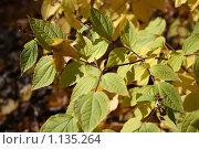 Последние листья. Стоковое фото, фотограф Наталья Хваткова / Фотобанк Лори