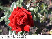 Роза. Стоковое фото, фотограф Наталья Хваткова / Фотобанк Лори