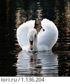 Купить «Белый лебедь», фото № 1136204, снято 28 мая 2009 г. (c) Raulin / Фотобанк Лори