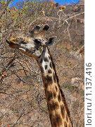 Жираф питается плодами кустарника. Стоковое фото, фотограф Димитрий Сухов / Фотобанк Лори