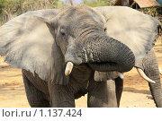 Слон пьет. Стоковое фото, фотограф Димитрий Сухов / Фотобанк Лори