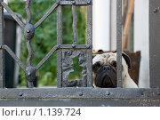 Плачущий Мопсик. Стоковое фото, фотограф Чехов Дмитрий Валерьевич / Фотобанк Лори