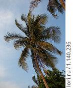 Купить «Таиланд, Патая, финиковая пальма на пляже», фото № 1140236, снято 15 марта 2009 г. (c) Елена Воронкова / Фотобанк Лори