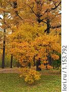 Купить «Осеннее дерево», эксклюзивное фото № 1153792, снято 14 октября 2009 г. (c) Валентина Качалова / Фотобанк Лори