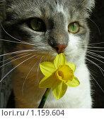 Купить «Серый кот с цветочком», эксклюзивное фото № 1159604, снято 25 апреля 2009 г. (c) lana1501 / Фотобанк Лори