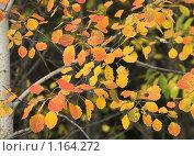 Осенняя ольха. Стоковое фото, фотограф Мамылин Антон / Фотобанк Лори