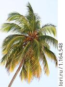 Кокосовая пальма на фоне неба. Стоковое фото, фотограф Димитрий Сухов / Фотобанк Лори