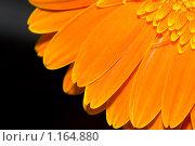 Купить «Оранжевая гербера на черном», фото № 1164880, снято 28 мая 2018 г. (c) Абашева Татьяна Шамилевна / Фотобанк Лори