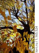 Осеннее дерево с желтой листвой на фоне голубого неба. Стоковое фото, фотограф Степаненко Сабина / Фотобанк Лори
