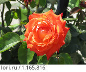 Роза. Стоковое фото, фотограф Алина Бучинская / Фотобанк Лори