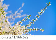 Купить «Цветущая ветка вишни на фоне неба», фото № 1166672, снято 18 апреля 2009 г. (c) Юрий Брыкайло / Фотобанк Лори
