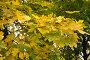 Ветка клена, фото № 1166896, снято 19 октября 2009 г. (c) Галина  Горбунова / Фотобанк Лори