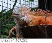 Галапагосская игуана. Стоковое фото, фотограф Александр Виноградов / Фотобанк Лори