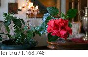 Комнатный цветок гибискус с каплями на лепестках. Стоковое фото, фотограф Николай Шаламов / Фотобанк Лори