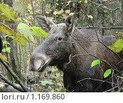 Купить «Лось в лесу», эксклюзивное фото № 1169860, снято 11 октября 2009 г. (c) lana1501 / Фотобанк Лори