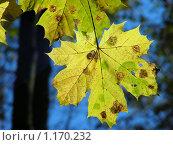 Купить «Клен», эксклюзивное фото № 1170232, снято 11 октября 2009 г. (c) lana1501 / Фотобанк Лори