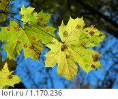 Купить «Клен», эксклюзивное фото № 1170236, снято 11 октября 2009 г. (c) lana1501 / Фотобанк Лори