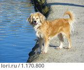 Купить «Рыжая собака стоит на берегу пруда», эксклюзивное фото № 1170800, снято 18 октября 2009 г. (c) lana1501 / Фотобанк Лори